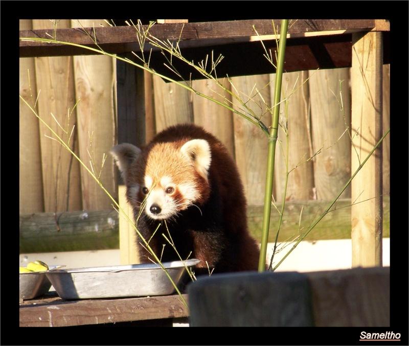 Le panda roux (Ailurus fulgens fulgens ) Zoo18-11