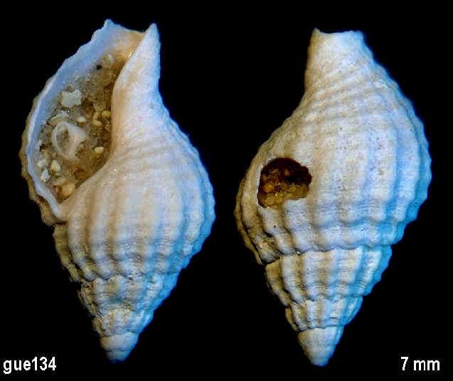 [résolu]Cantharus (Pollia) subandrei (d'Orbigny,1850) 13410