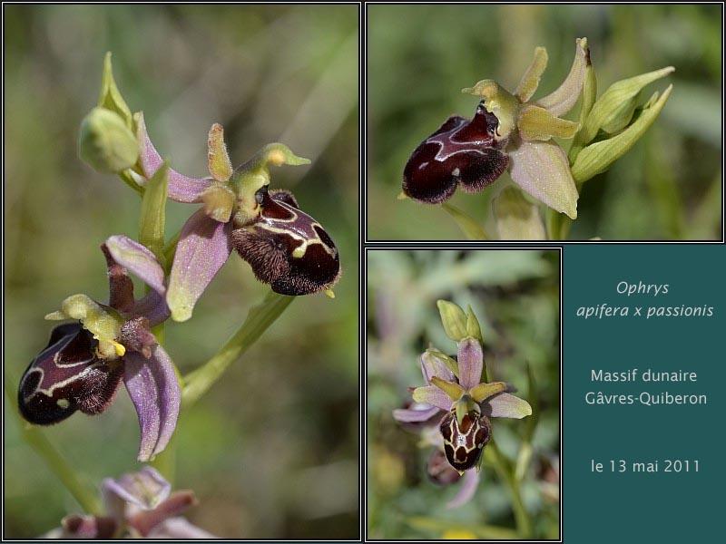 Ophrys apifera X passionnis Hybrid10