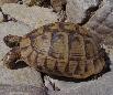 Testudinidae