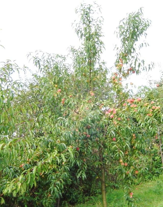 Les  fruits du  jardin Araign12