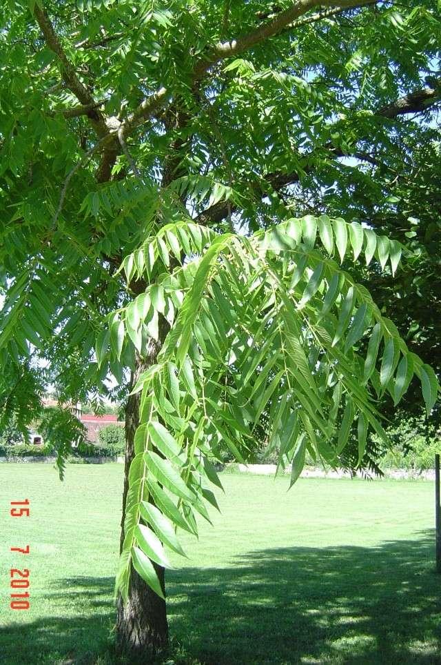 Qui connait  cet  arbre ? Arbre_16