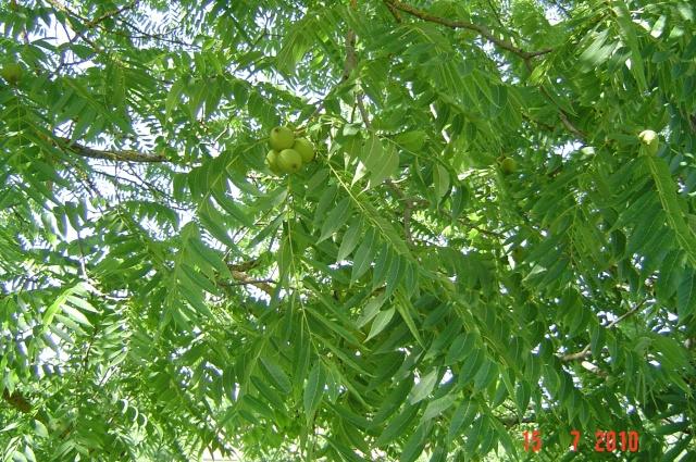 Qui connait  cet  arbre ? Dsc09110
