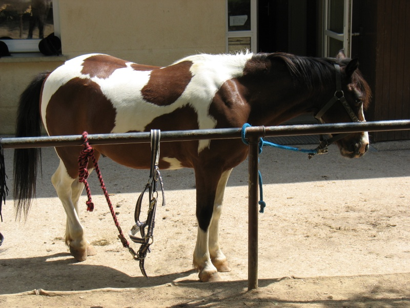 cheval ou poney? 13_jui12