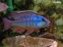 cichlidès du malawi (éric) 25_12_11