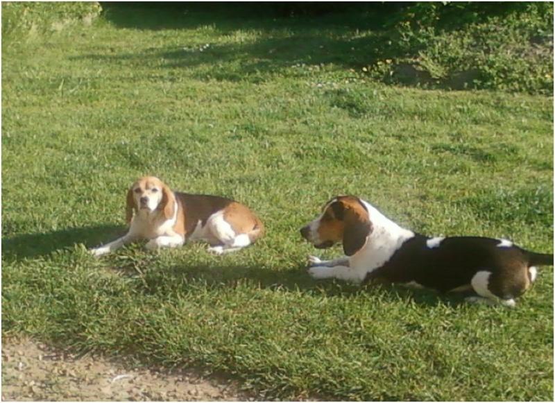 BERNIE, beagle femelle, 3 ans (49) Elton111