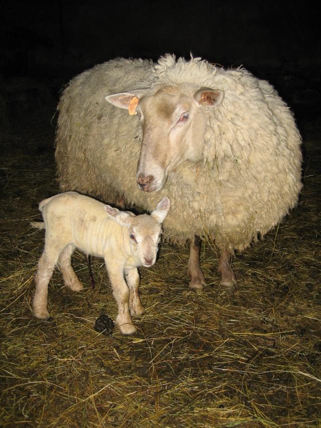 Les toutes premières naissances de cette année [agneaux] Img_0011