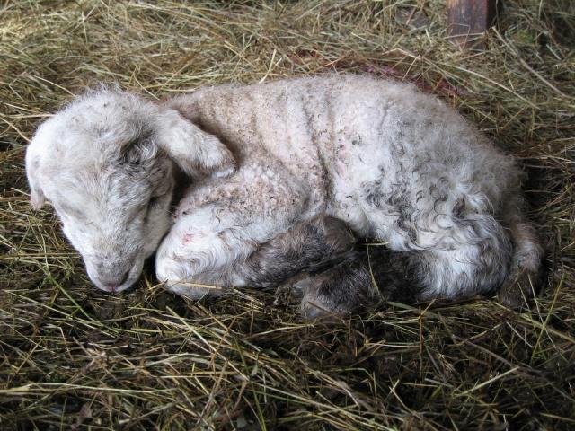 Les toutes premières naissances de cette année [agneaux] Img_0012