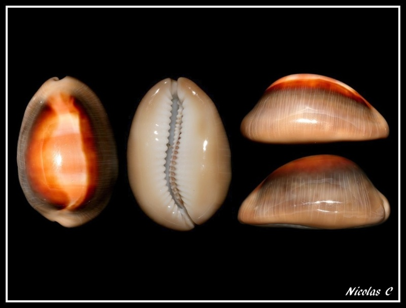 Lyncina ventriculus - (Lamarck, 1810) Forum_16