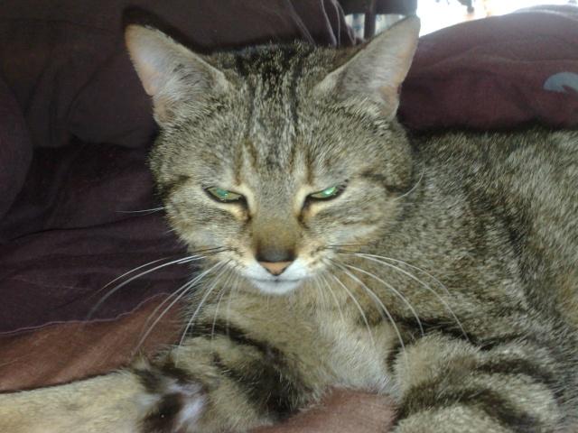 FLEUR, chatte tigré, identifiée HSF716 08052012