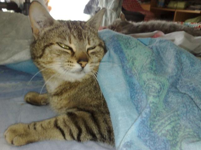 FLEUR, chatte tigré, identifiée HSF716 15052010