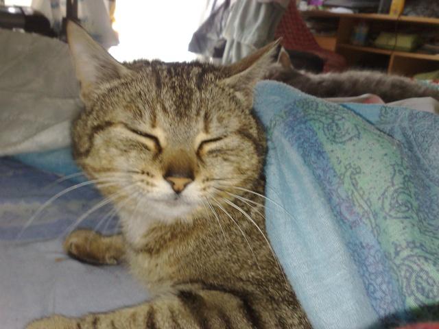 FLEUR, chatte tigré, identifiée HSF716 15052011
