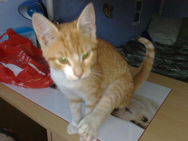 Chaton roux et blanc trouvé à Abbeville près de l'école du pont des près 20092010