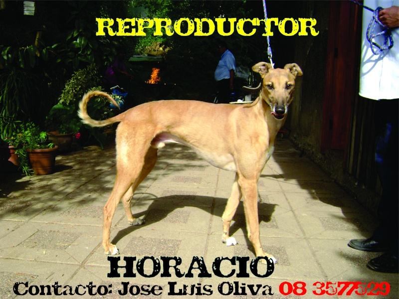 SE OFRECE SERVICIOS DE PADRILLO DE HORACIO (Don Horacio x Negra) Horaci10