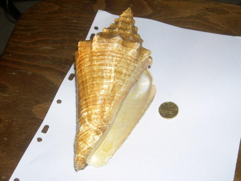 [résolu]Strombus gigas juvénile (Linné, 1758) Dscn3711