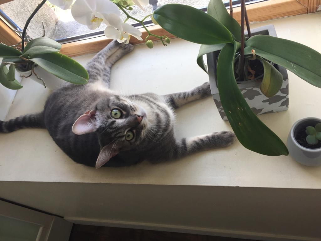 Félix, chat gris tigré, né le 30 juin 2017. 3b811a11