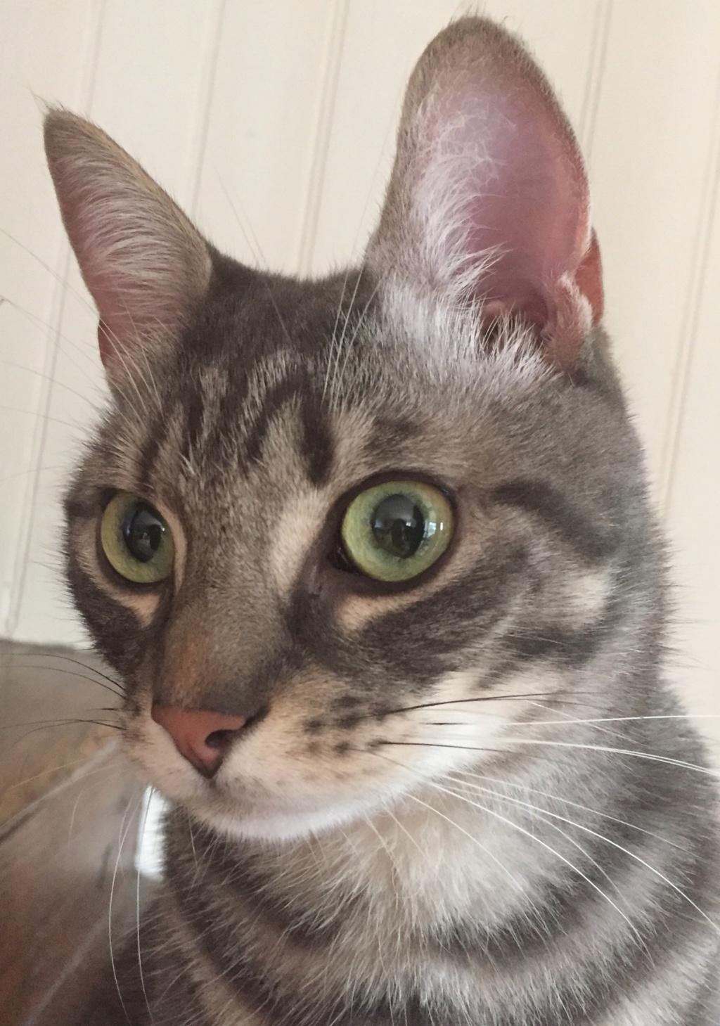 Félix, chat gris tigré, né le 30 juin 2017. 9d05bf10
