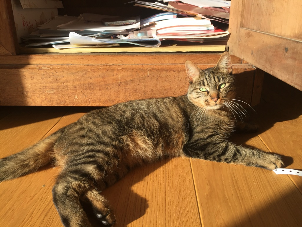 Javelot, chat mâle brown tabby de 2017 Adad0a10