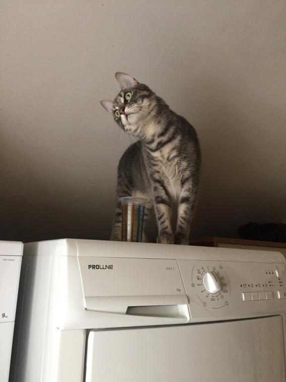 Félix, chat gris tigré, né le 30 juin 2017. Da763d10