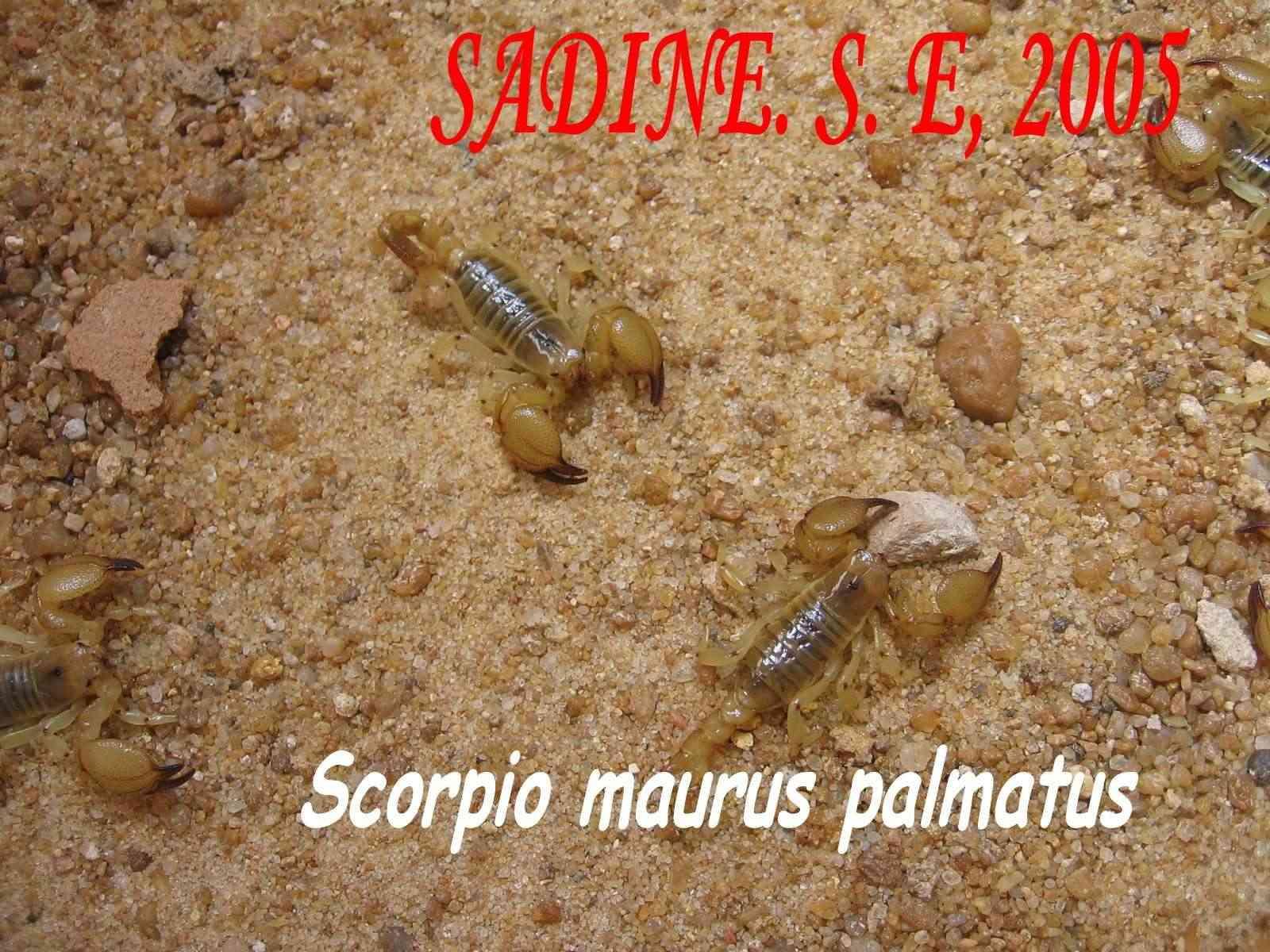 Scorpio maurus Img_0010