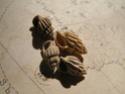 [résolu]Rissoina (Rissolina) grateloupi (BASTEROT, 1825) Pict9413