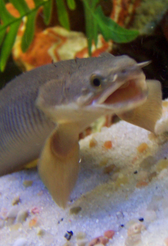 polypterus - Polypterus senegalus senegalus 100_4010