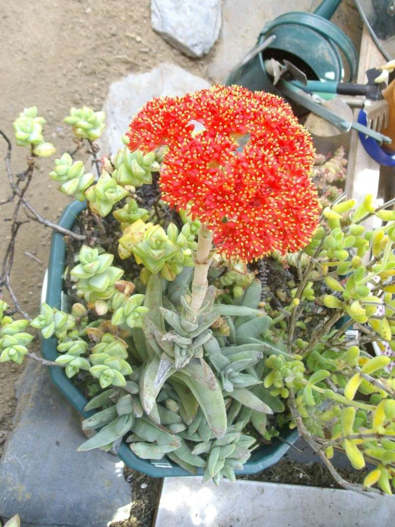 Crassula perfoliata var falcata en pleine floraison Imgp0017