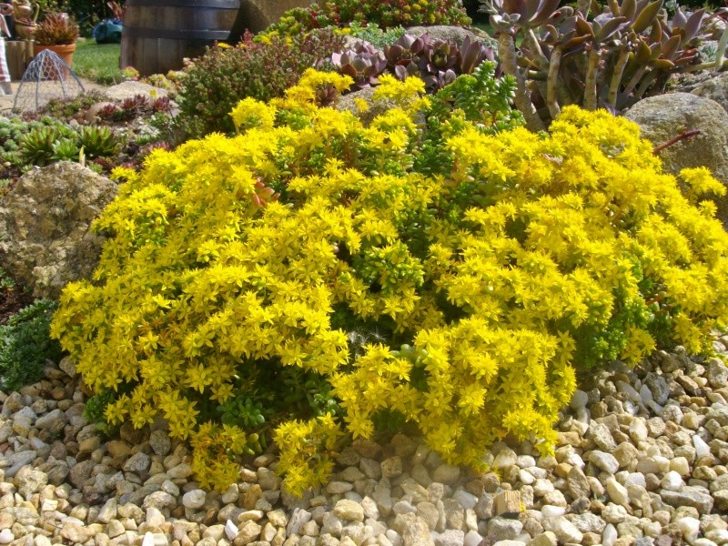 Sedum luteoviride en fleurs  Imgp9911