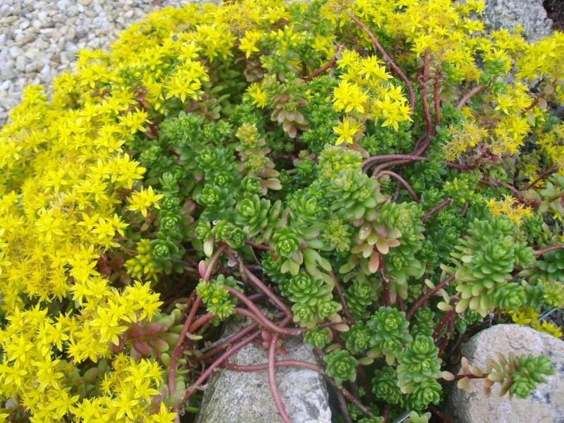 Sedum luteoviride en fleurs  Imgp9912