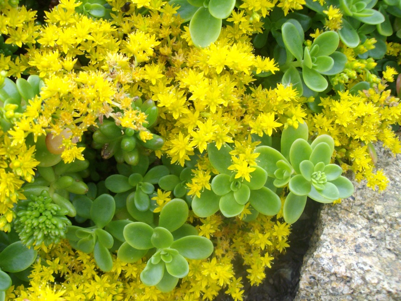 Sedum luteoviride en fleurs  Imgp9913