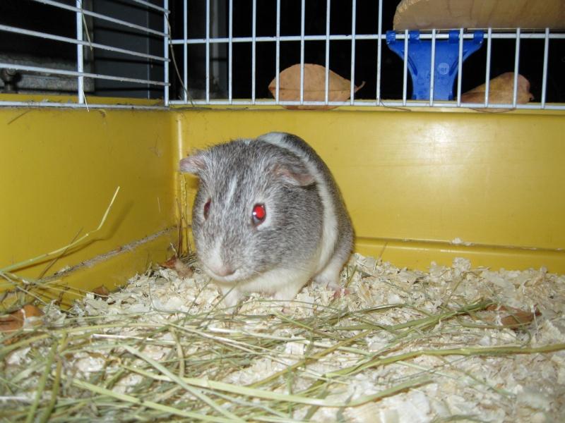 Huxley male chon . ( Adopte ) 6_chon16