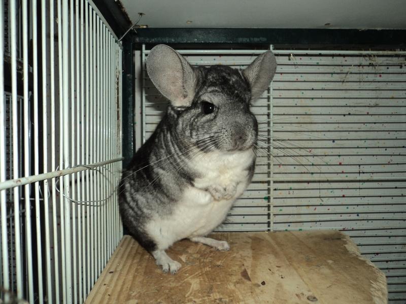 Baloo , p'tit gris . ( adopte ) Dsc07712