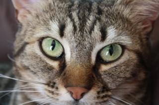 Boulette, jolie tigrée, environ deux ans, FA à ROUBAIX Img_3710