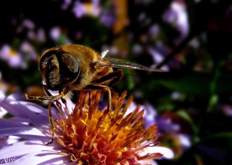 abeille au jardin  Abeill10