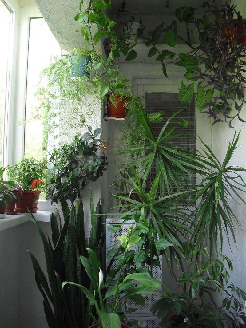 florile din apartament/gradina - Pagina 8 Cimg2410