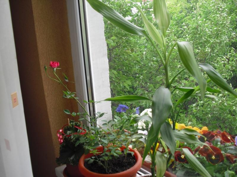 florile din apartament/gradina - Pagina 8 Cimg2416