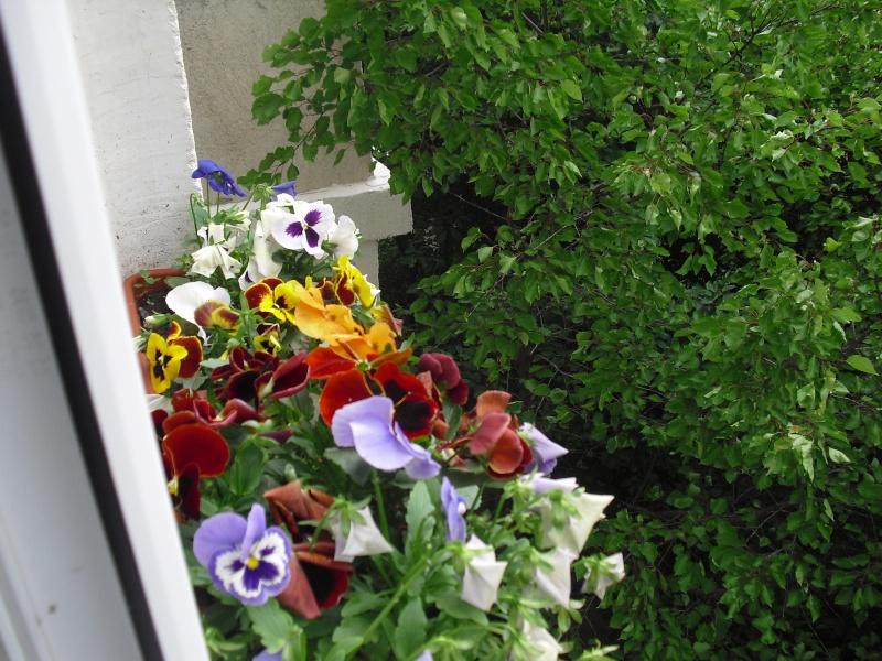 florile din apartament/gradina - Pagina 8 Cimg2417