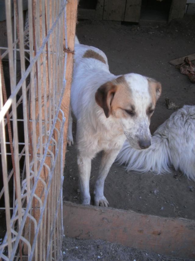 fata - FATA, née le 12/06/2009, arrivée chiot au refuge (soeur de Mickey et fille de Tara) - en FA dans le 49 - GARANT - SOS -R-FB-SC-30MA Fatap412