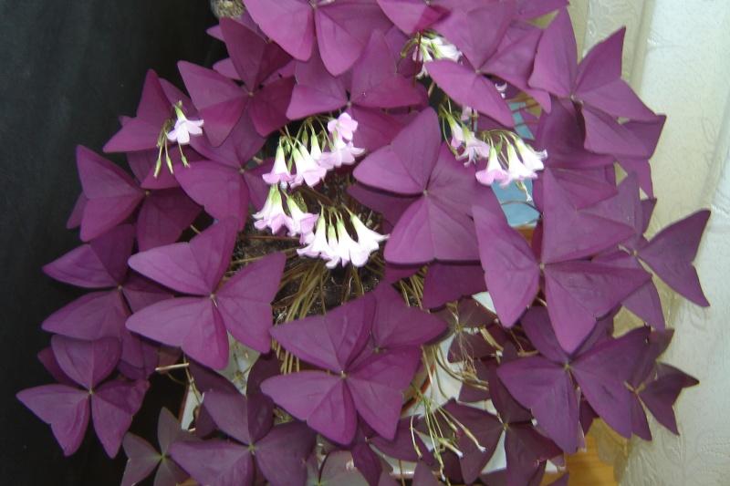 Florile din apartament - Pagina 6 Dsc08211