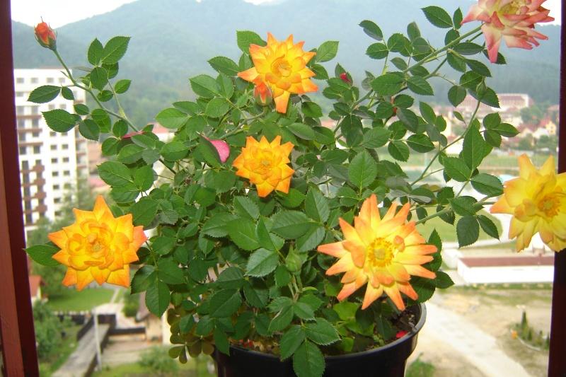 Florile din apartament - Pagina 6 Dsc08212