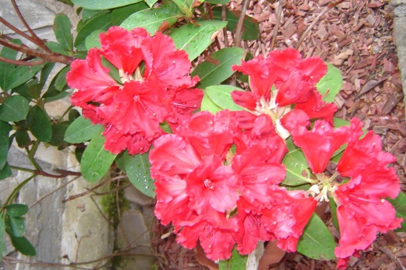 Florile din apartament - Pagina 6 Dsc08213