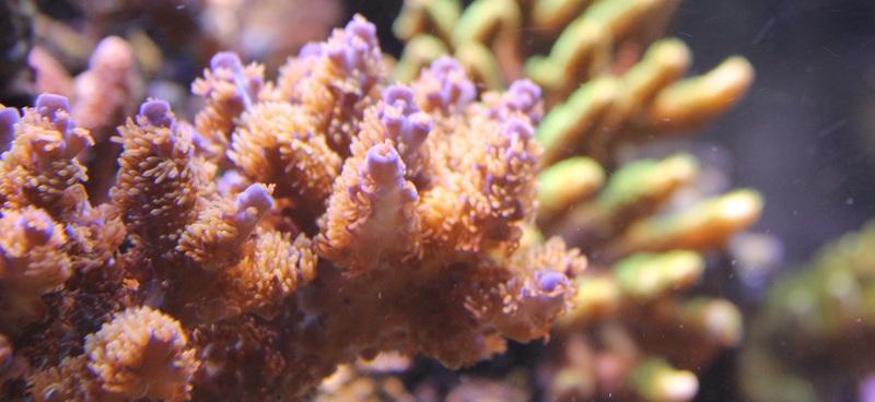 recherche boutures de coraux Img_2924