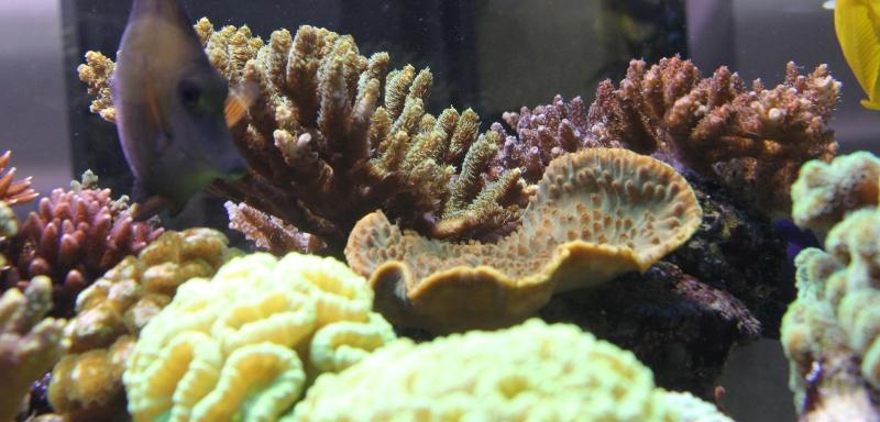 recherche boutures de coraux Img_2934