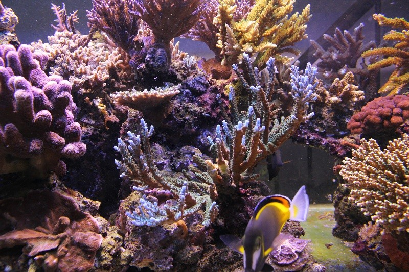recherche boutures de coraux Img_2952