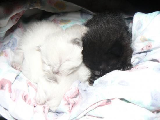 Urgence pour chatons de 15 jours ! (Réglé) Chaton10