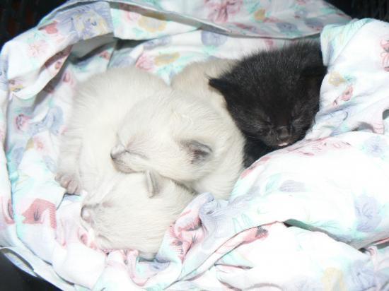 Urgence pour chatons de 15 jours ! (Réglé) Chaton11