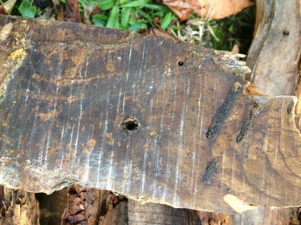 Identification larve Img_0012