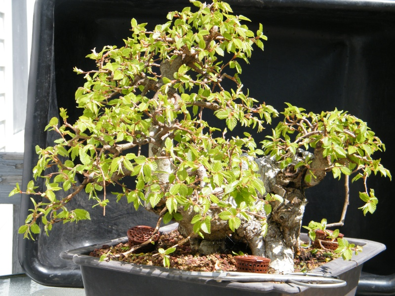My Carpinus coreana progression............ 2011_016