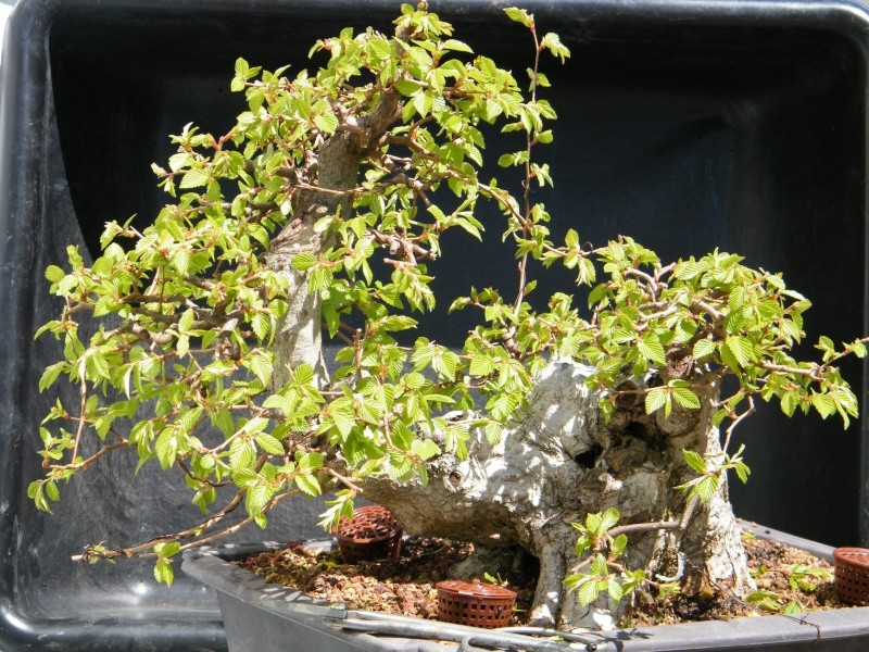 My Carpinus coreana progression............ 2011_018