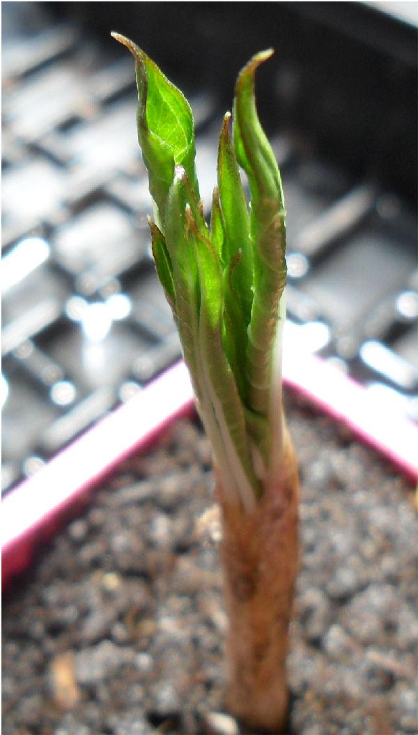 Amorphophallus Konjac et Bulbifer Amorph22